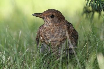 Blackbird (Turdus merula) in the grass. A young female.
