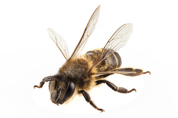 Bee species apis mellifera common name Western honey bee
