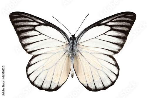 Deurstickers Vlinder Butterfly species Prioneris philonome