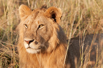 Male African Lion in the Maasai Mara National Park, Kenya