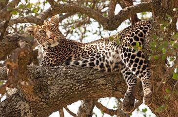 Wild leopard in Masai Mara, Kenya, Africa