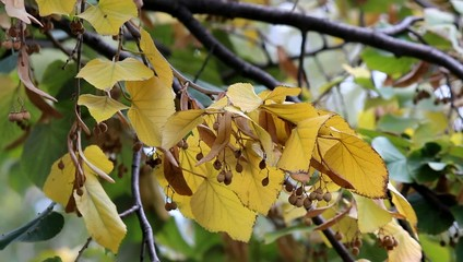Linden branch in autumn colors