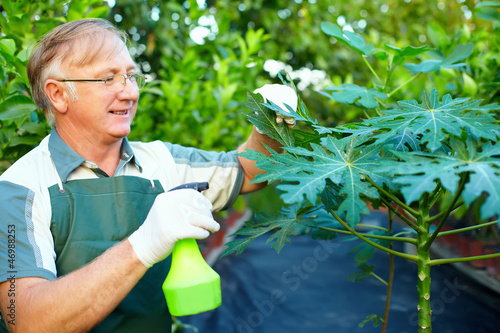 happy senior gardener cares for papaya plant in greenhouse