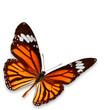 Yellow-orange butterfly