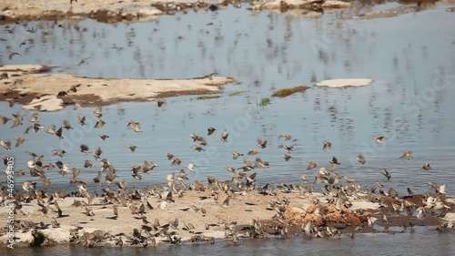 Red-billed Queleas drinking water, Etosha National Park