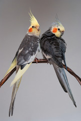 two cockatiels pet birds