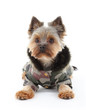 Yorkshire terrier in winter clothes
