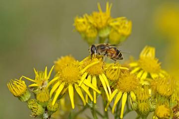 Hoverfly Feeding On Ragwort Flower