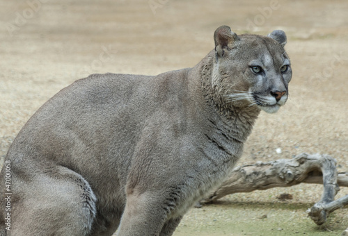 Close up of a Puma Sitting