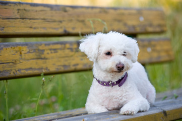 Maltese dog on a bench outdoor.
