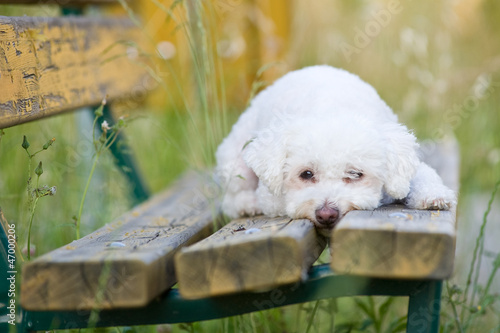 Maltese dog on a bench outdoor.