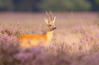 A roe deer in a field of heather