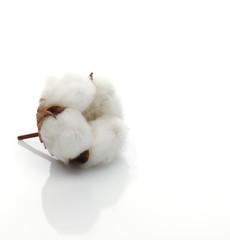 Baumwollblüte solo macro