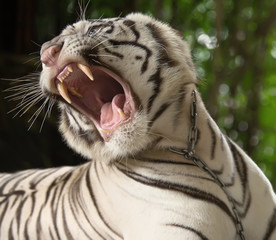 the white tiger growls