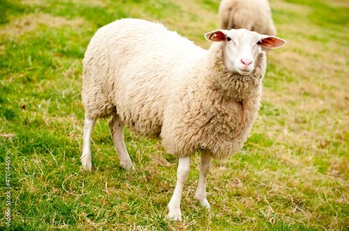 Schaf auf der Wiese