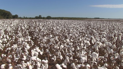 Cotton Field Pan