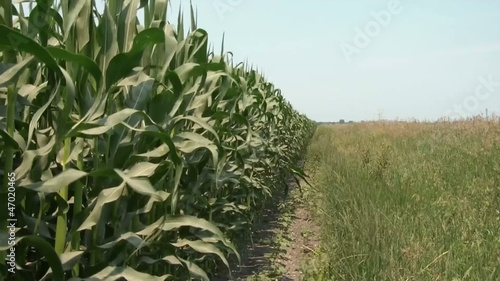 Sounds of Corn Field in Wind