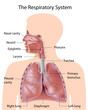 The respiratory system, labeled, eps10