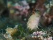 Gestreifter Schleimfisch (Parablennius rouxi)