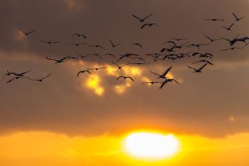 Kraniche bei Sonnenuntergang im Flug