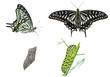 Stages of butterfly 3