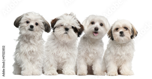 Group of Shih Tzu and Maltese puppy sitting and looking
