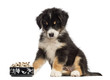 Australian Shepherd puppy, 2 months old, sitting