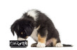Australian Shepherd puppy, 2 months old, sitting and eating