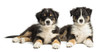 Two Australian Shepherd puppies, 2 months old, lying