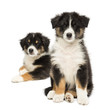 Two Australian Shepherd puppies, 2 months old, sitting