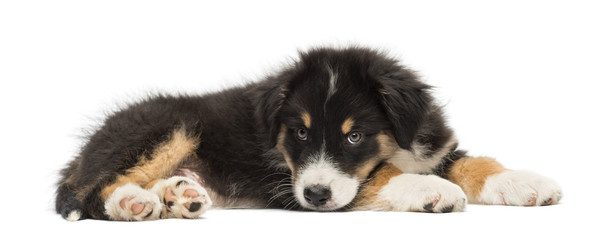 Australian Shepherd puppy, 2 months old, lying