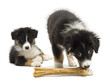 Two Australian Shepherd puppies, 2 months old