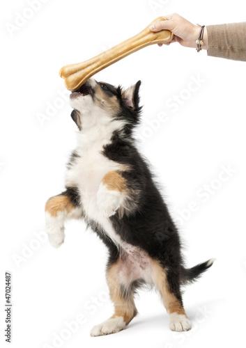 Australian Shepherd puppy, 2 months old, reaching knuckle bone