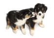 High view of Two Australian Shepherd puppies, 2 months old