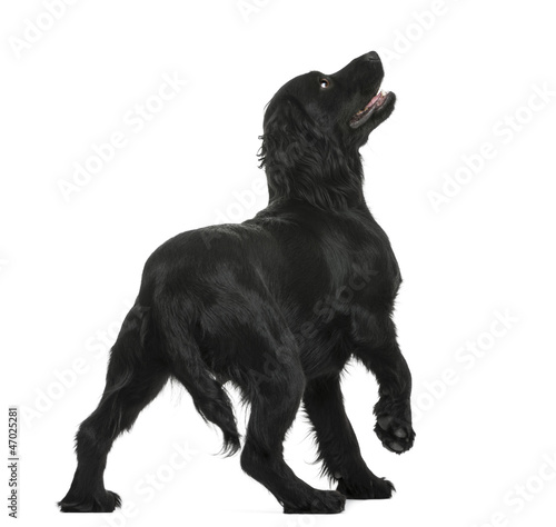 Working Cocker Spaniel looking up against white background