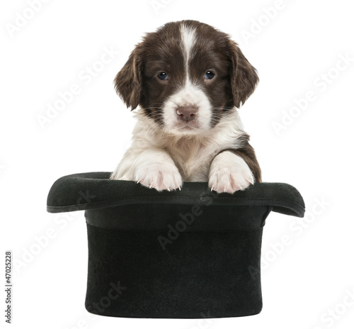 English Springer Spaniel, 5 weeks old, sitting in magician's hat