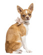 Chihuahua, 7 months old, wearing lace collar, sitting