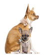 Two Chihuahua puppies, 4 and 7 months old, sitting