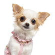 Chihuahua, 1 year old, wearing pink harness
