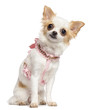 Chihuahua, 1 year old, wearing pink harness sitting