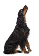 Side view of Gordon Setter, 1 year old, sitting and looking up