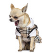 Chihuahua sitting, dressed and yawning