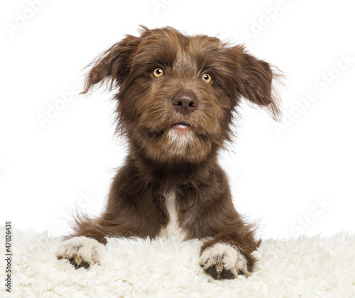 Crossbreed dog lying on white fur and looking away