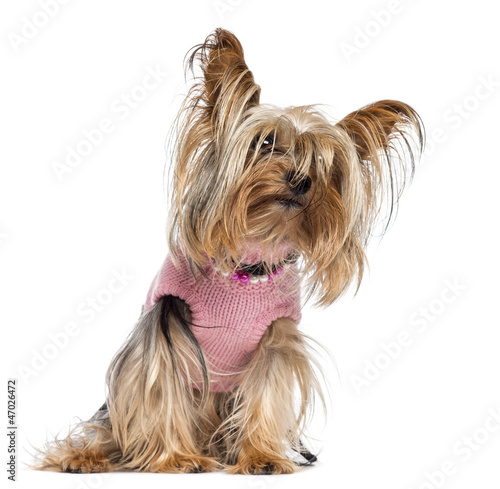 Yorkshire terrier sitting, dressed and looking away