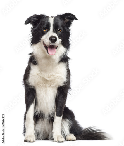 Border Collie, 1.5 years old, sitting and looking away
