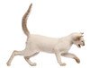 Oriental Shorthair kitten, 9 weeks old, running and meowing
