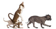 Oriental Shorthair standing on hinds leg with kitten walking