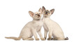 Two Oriental Shorthair kittens sitting and looking up