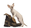Oriental Shorthair kitten standing on dirty boot