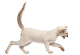 Oriental Shorthair kitten, 9 weeks old, running and meowing poster